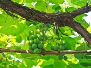 3767175-inicio-uvas-en-la-vid-en-la-sombra