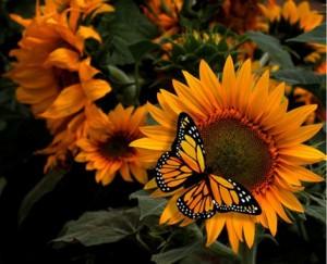Fotografia-Girasol-mariposa_thumb[2]