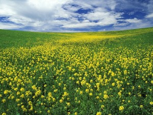 Campo de flores de mostaza salvaje en EEUU.