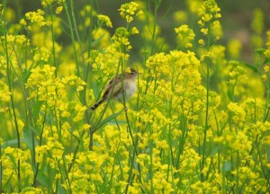 ce_sparrow_in_mustard_farm_img_8650
